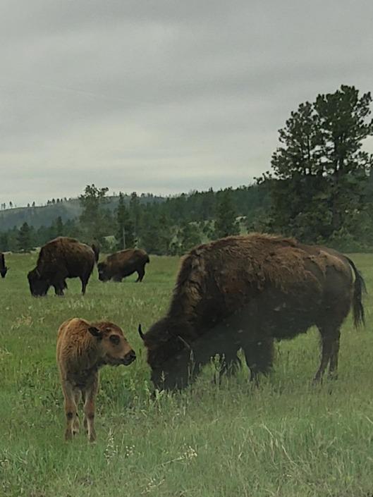 bison3